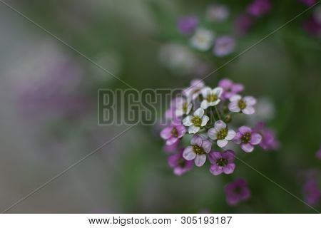A Fabulous Little White And Pink Flower, Sweet Alyssum
