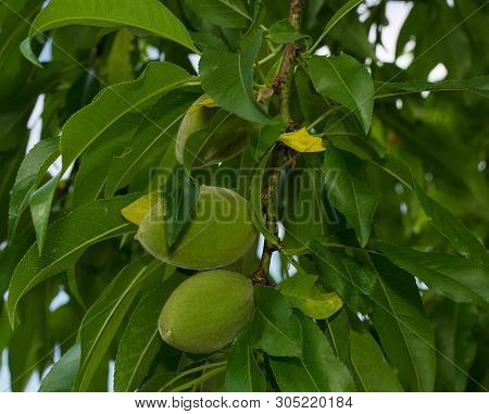 Unripe Almond Drupes Growing On A Grossa Dolce (or Sweet Big) Almond Tree In North East Italy