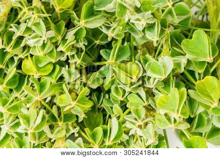 Organic Edible Herb Green Oca Leaves Oxalis Tuberosa Close Up