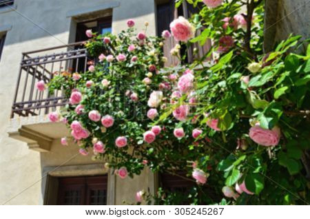 Rose Bush Entwining Part Of The Building, In The Blurr Effect
