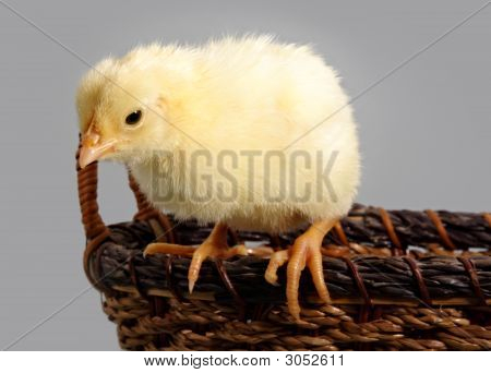 little cute yellow chick on a wicker basket poster