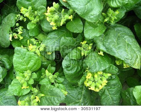 Flowers of tobacco