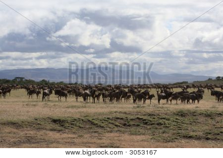African landscape with wildebeest herd in serengeti Tanzania poster