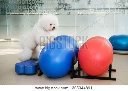 Bichon Fries playing on a balls