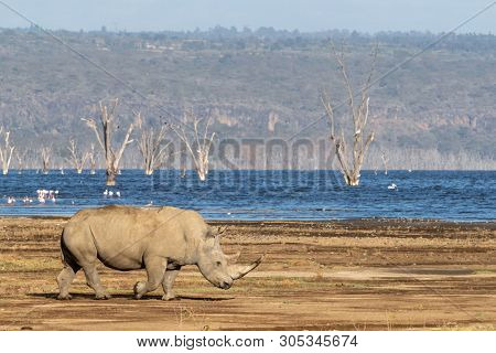 Adult Southern white rhino walks past Lake Nakuru, Kenya. Flamingos and pelicans can be seen on the water, and dead tress rise out from the lake.