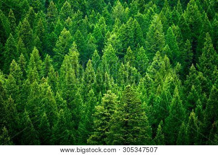 Forest of pine trees in wilderness mountains rugged green