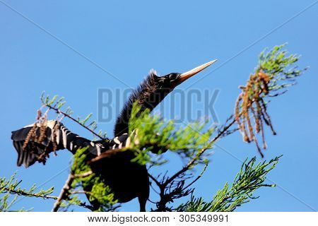 Anhinga bird on the tree branch close up