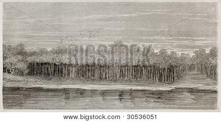 Amazon river bank vegetation: Moriche palms. Created by Riou, published on Le Tour du Monde, Paris, 1867 poster