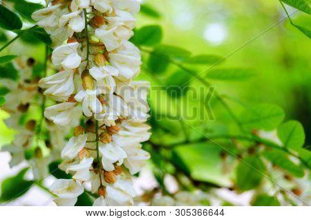 Branch Of White Acacia On Green Foliage Background. Green Spring Acacia Leaves & White Flowers. Robi