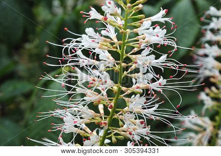 Macrophotography Of White Blossoms With Long Stamens Of Aesculus Parviflora, The Bottlebrush Buckeye