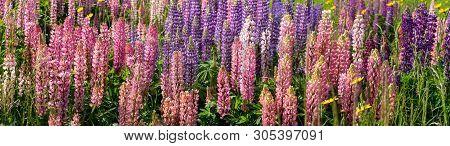 Focus Blended Lupin Field In Bistriza Bulgaria. Lupin Field At Hit Full Bloom In Summer Season Of Bu