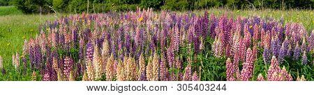 Lupin Field Hit Full Bloom In Summer Season