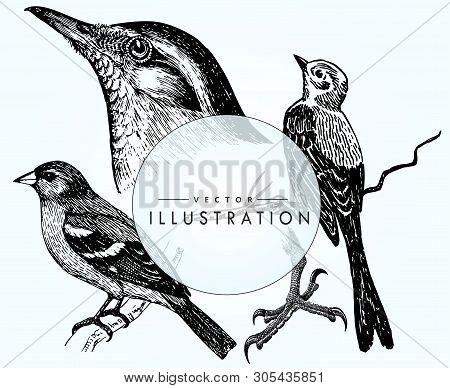 Set Birds Ornithology. Realistic Sketch Of Birds - Woodpecker On A Branch, Sparrow. Beautiful Bird C