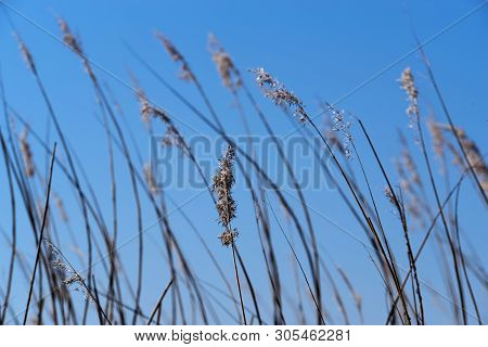 Closeup Shot Of Reed Field Against Clear Blue Sky. Sankt Peter-ording, Germany
