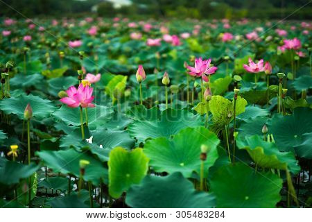 Royalty High Quality Free Photo Image Of A Pink Lotus Flower. Beauty Pink Lotus On Focus Is In Middl