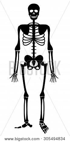 Human Skeleton. Bones Anatomy Skeleton Vector Illustration, Skeletal Biology System, Black Isolated