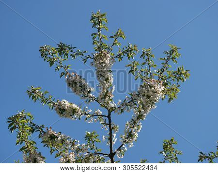 Flower Cherry Tree Cerasus Rosaceae On Blue Sky Background