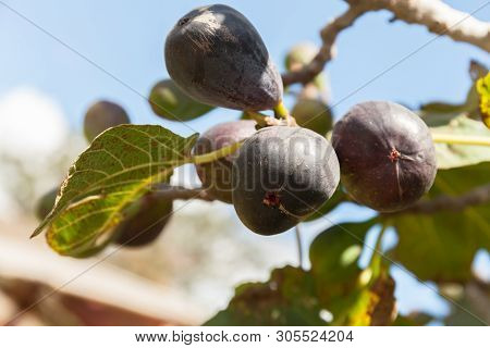 Ripped Figs On The Tree. Natural Leaf Imperfection. Selective Focus.