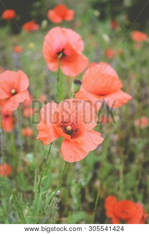 Red Poppies. Poppy Flower Heads. Red Flowers Close Up. Poppy Field