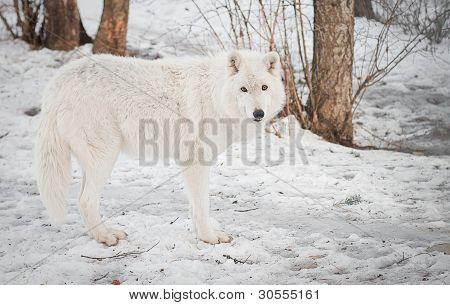 Female Wolf