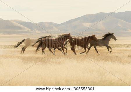 A Herd Of Wild Horses Running Across The Utah Desert