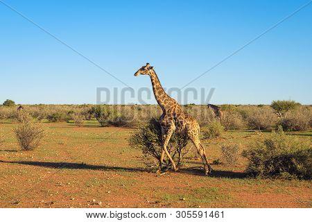 Giraffe Walking Through The Kalahari Desert In Namibia. Giraffes Belong To The Kalahari Ecosystem.