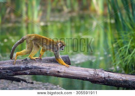 Common Squirrel Monkey, Also Called Saimiri Sciureus, Walking On A Tree Branch Above Water