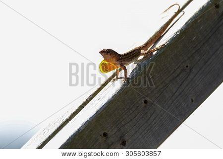 Brown Anole Lizard Anolis Sagrei With A Red Orange Dewlap Displayed