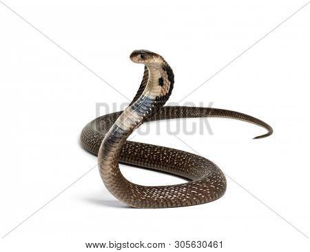 King cobra, Ophiophagus hannah, venomous snake against white background against white background