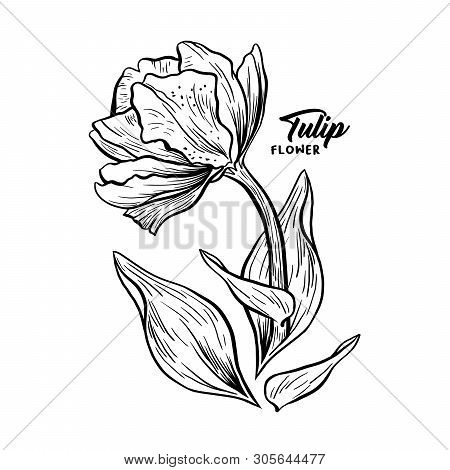 Tulip Hand Drawn Vector Illustration. Linear Blossom Ink Pen Sketch. Black And White Blooming Clipar