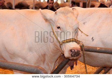 Paris - February 26: Blanc Bleu Belge Cow At The Paris International Agricultural Show 2012 On Febru