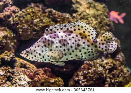 Closeup Of A Panther Grouper, White With Black Spotter Tropical Fish, Exotic Pet From The Indo-pacif