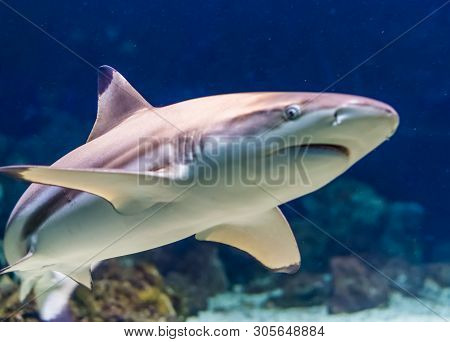 Closeup Of A Black Tip Reef Shark, Tropical Near Threatened Fish Specie Form The Indian And Pacific