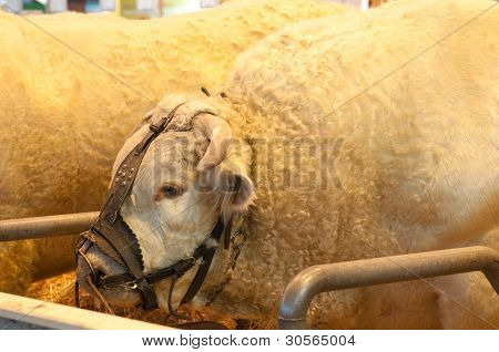 Paris - February 26: Bull (2) At The Paris International Agricultural Show 2012 On February 26, 2012