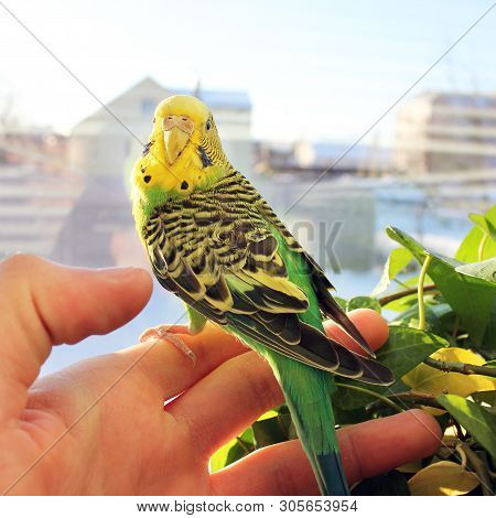 Beautiful Wavy Parrot In His Hand. Bird Sitting On Hand