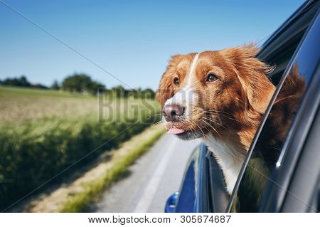 Dog Enjoying From Traveling By Car. Nova Scotia Duck Tolling Retriever Looking Through Window On Roa