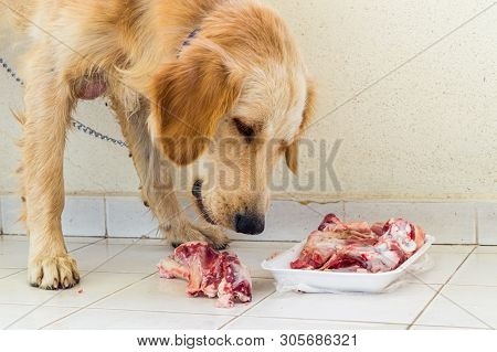 Young Golden Retriever Dog Eating Fresh Lamb Bones In The Balcony.