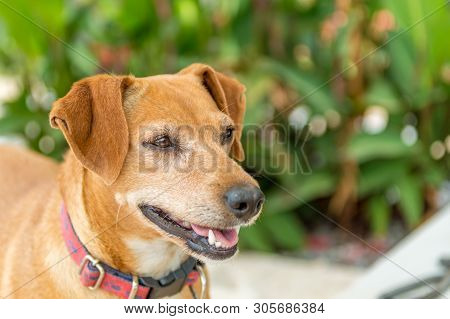 Close Up Portrait Of Brown Pincher Dog Standing In The Garden With Green Foliage.