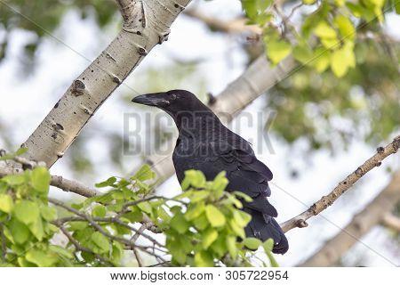 Raven In Tree Blackbird Noisy Prairie Song Bird Saskatchewan