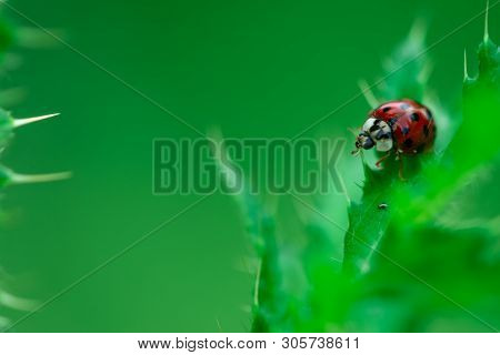 Ladybugs Eating On A Leaf, Macro Photo, Close Up, Insect, Coccinellidae, Arthropoda, Coleoptera, Cuc