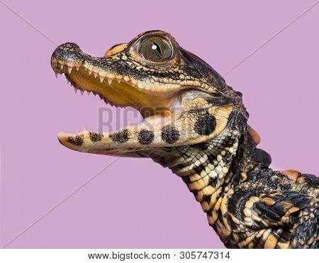 Dwarf crocodile, Osteolaemus tetraspis also know as African dwarf crocodile, broad-snouted crocodile, or bony crocodile looking at camera against purple background