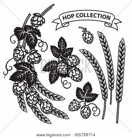 Branches Of Hops, Ears Of Barley End Ribbon Banner. Set Of Elements For Brewery Design. Hop Cones Wi