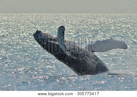 Humpback Whale Breaching The Ocean Surface While The Sun Is Glistening On The Water Looking Like Jew