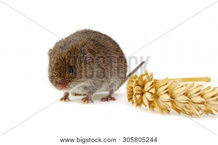 Mouse isolated on a white background with an ear of wheat