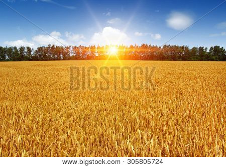Gold wheat flied panorama at sunset, rural countryside