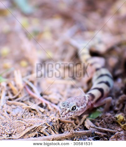 Western Banded Gecko - Lizard