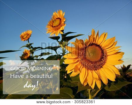 Morning greetings- Good morning. Have a beautiful day! with sunflowers blossom. Sunflower plants in the barden and blue sky background. poster