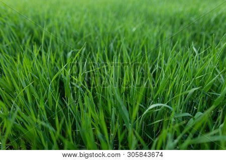 Green Fresh Natural Grass. Lawn For The Background.