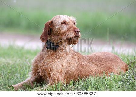 Outdoor Portrait Of A Vizsla Dog. A Close-up Head Shot Of A Vizsla Dog