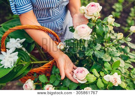 Senior Woman Gathering Flowers In Garden. Middle-aged Woman Holding Pink Rose In Hands. Gardening Co